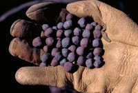 photo: Hand full of taconite pellets