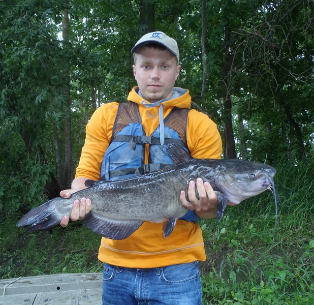 Photo: A channel catfish caught in a trap net in the Roseau River during the summer