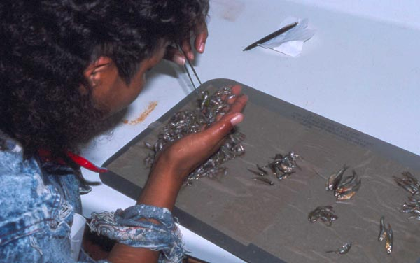Photo: Sorting fish caught in a beach seine