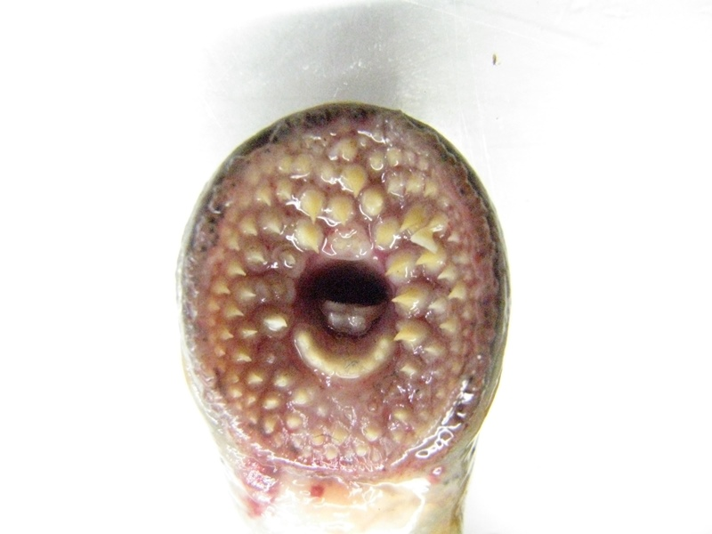 Photo: Mouth parts of an adult Silver Lamprey