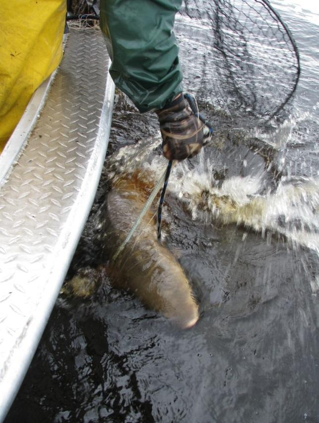 Photo: Lake Sturgeon splashing in a net