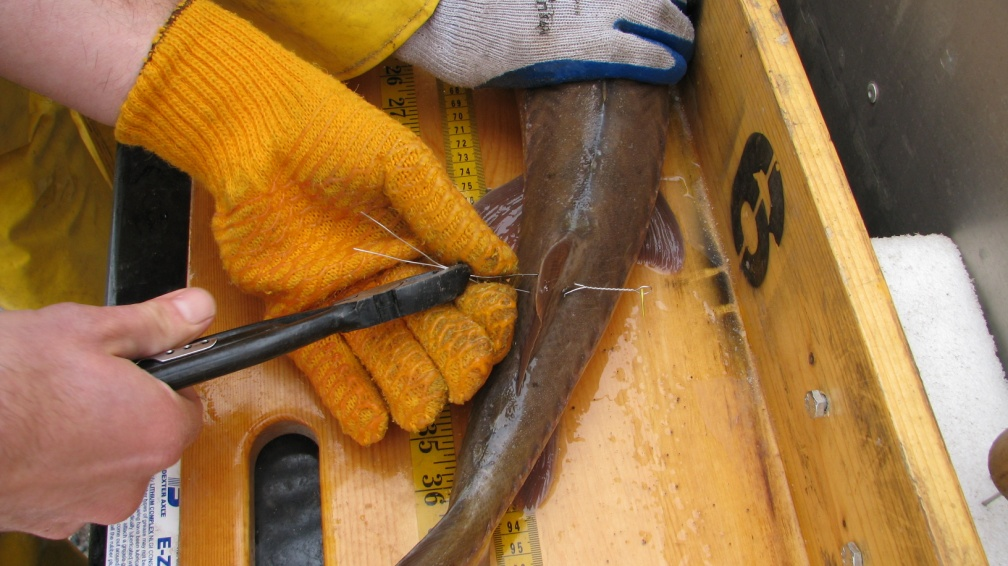 Photo: DNR workers tagging a Lake Sturgeon