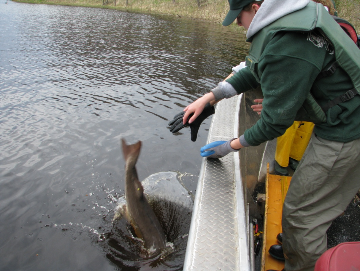 Photo: Lake Sturgeon being released after she was tagged