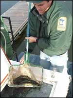 Image: walleye fingerlings stocked into West Rush Lake, Chisago County
