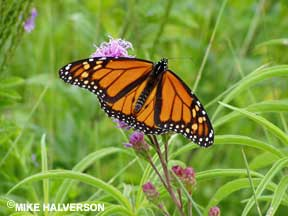 picture of a monarch on blazing star