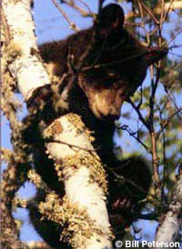 Young black bear in tree.