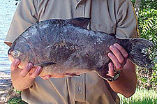 pacu found in local lake