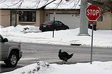 turkey at a stop sign