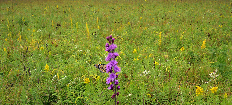 Prairie with monarch butterfly on liatris