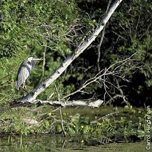 heron on downed tree