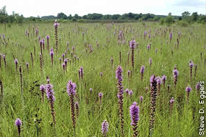 blazing star in mesic prairie