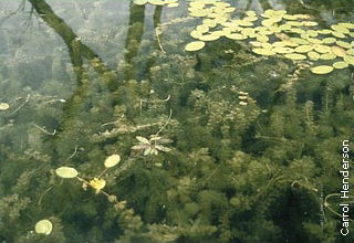 submerged aquatic plants