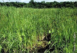 cattails, arrowhead and other marsh vegetation
