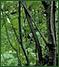 Alder shrub swamp
