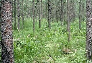 black spruce in swamp forest