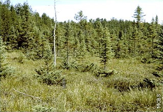 black spruce with mosses and other vegetation