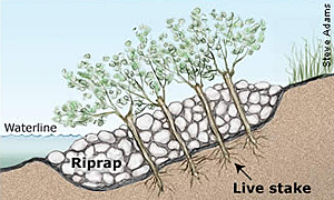 illustration showing method of live stakes planted in rip-rap