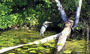heron on downed log in a lake