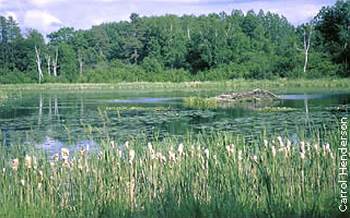 lake with cattails, lily pads and beaver lodge