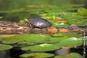 painted turtle on log