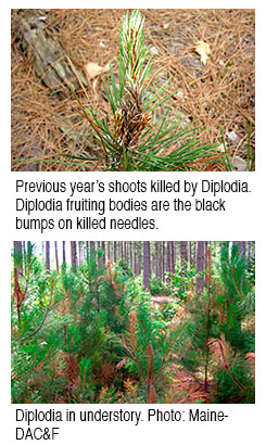red pine shoot in understory with diplodia