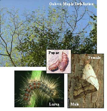 Photo collage showing gypsy moth defoliation and gypsy moth pupa, larva and adult.