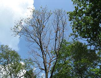 Fallen leaf showing oak wilt symptoms.