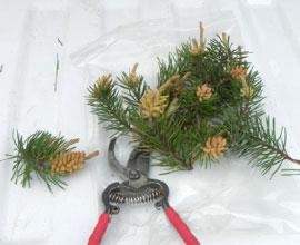 Jack pine budworm