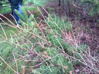 Cytospora canker of spruce