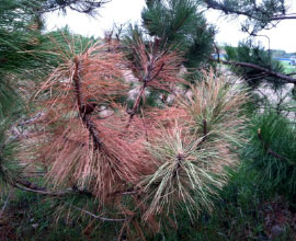 Early symptoms of Bark beetles on red pine