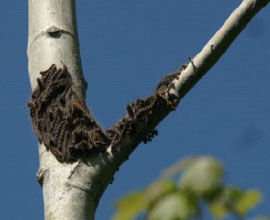 Forest tent caterpillar resting on aspen trunck