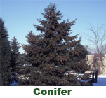 photo: White Pine conifer image form forestry images
