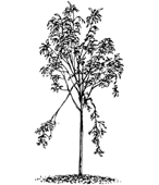 graphic: Yound tree with damage limbs