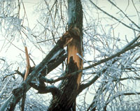 photo: Ice Damage to tree with power lines. From Forestry Images