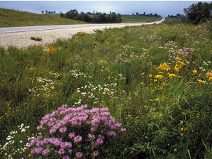 Photo: Native grasses along a roadway.