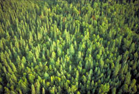 aerial photograph of Pine forest