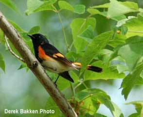 Photo of an American Redstart.