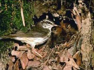 Photo of a Louisiana Waterthrush.