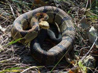 Photo of a Timber Rattlesnake.