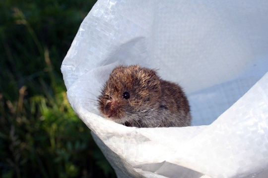 A meadow vole.