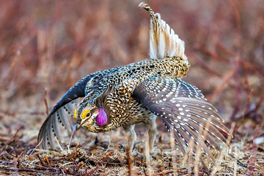 Sharp-tail grouse return to the newly restored aspen parkland.