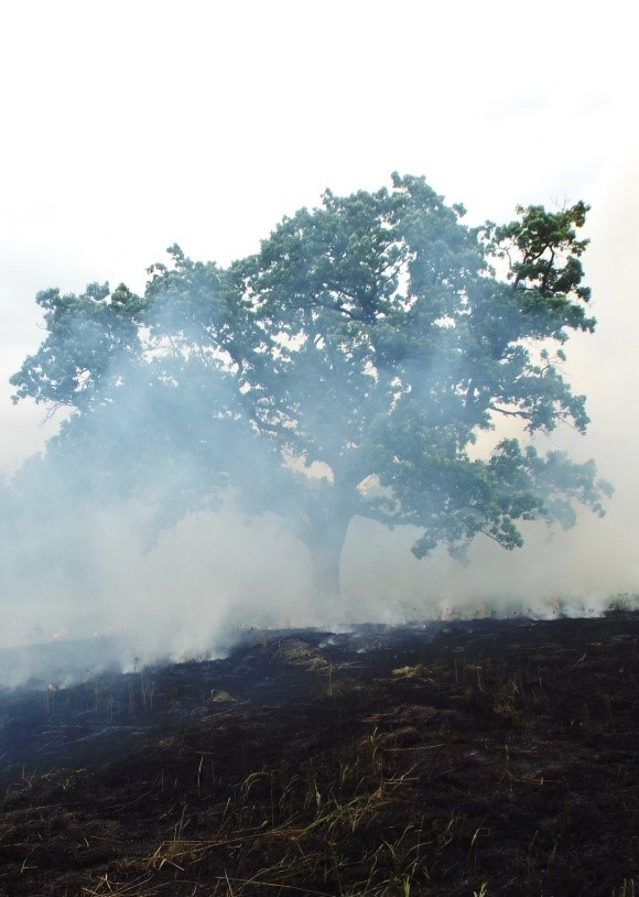 Smoke from a burn obscures a tree.