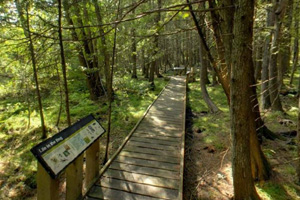 Photo of a wooden boardwalk that threads through the park's bog.