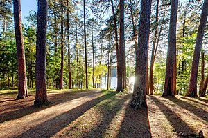 Photo of Prechers Grove, a stand of towering red pines.