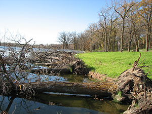 Oak trees dropped at the shoreline in 2007.