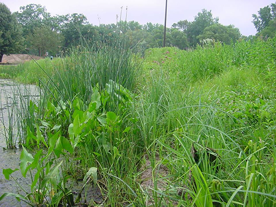 Same site 1 year after installation. Careful weeding of invasive species at this stage is important. Photo: Dakota County Soil and Water Conservation District