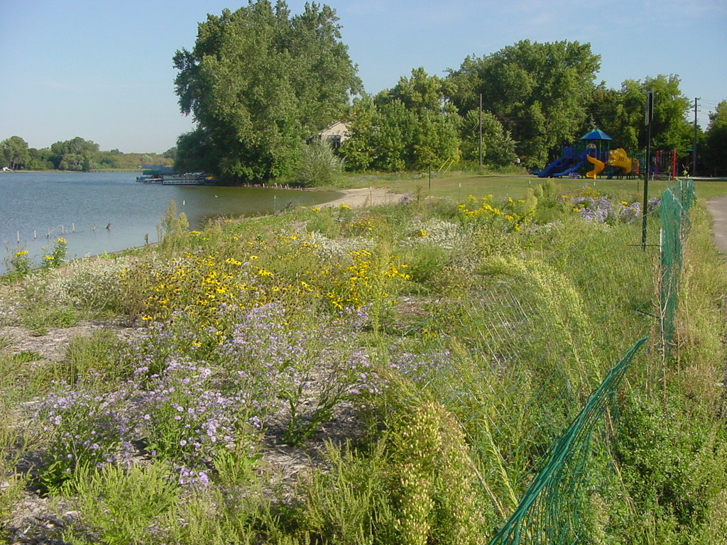 3 year old planting in need of weeding. Photo: Anoka Conservation District