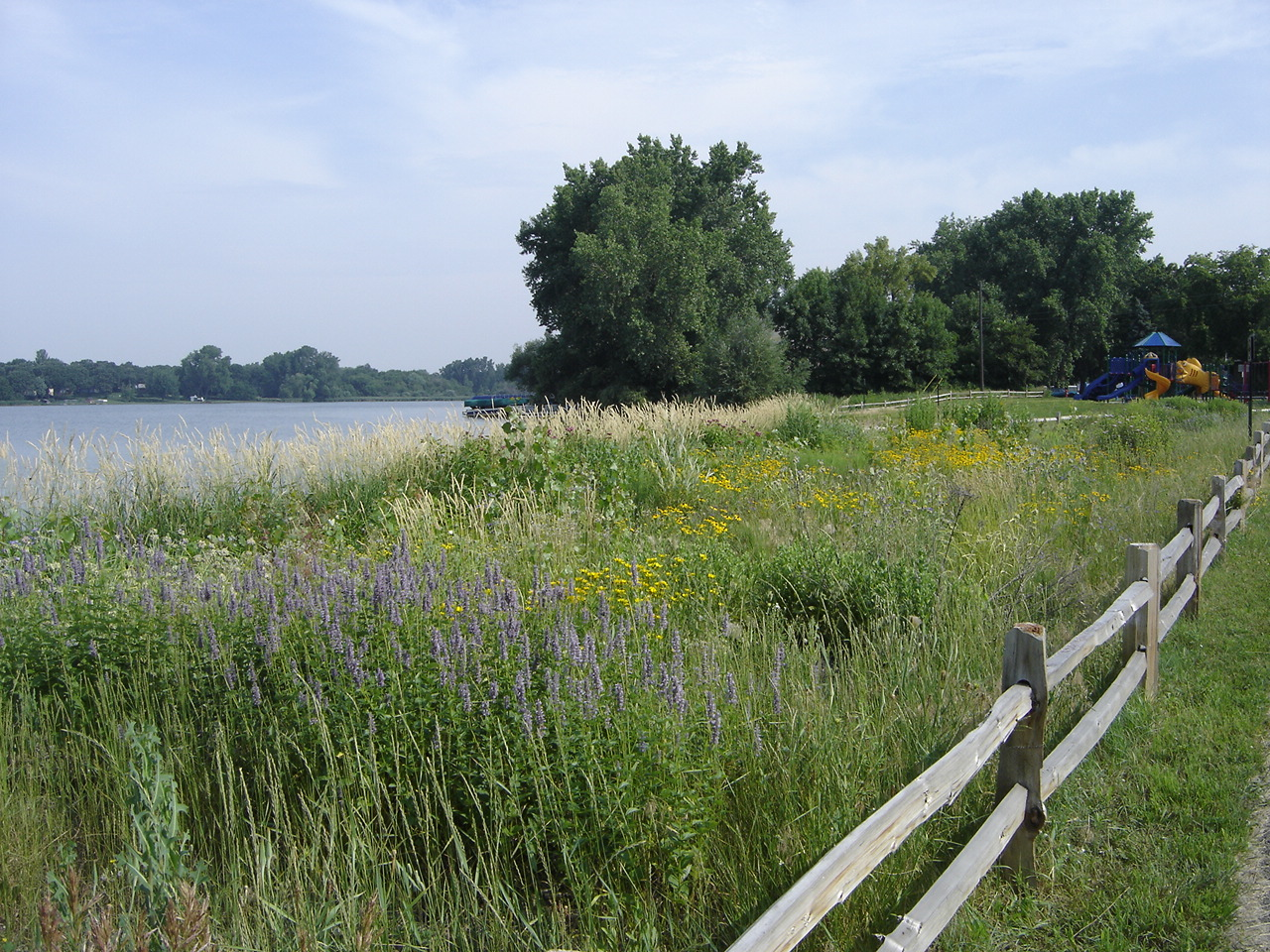Shoreline restoration with re-invading reed canary. Photo: Anoka Conservation District