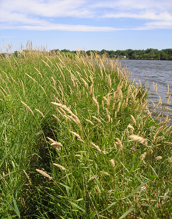 Reed canary grass, a common invasive plant along lakeshores, is difficult to eradicate.