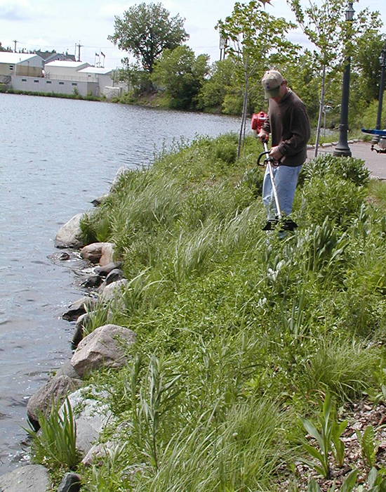 Image of a person cutting shoreline annual weeds and invasive plants to prevent re-seeding.